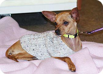 Miniature Pinscher Mix Puppy for adoption in Yuba City, California - 11/05 Delilah