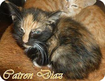 Domestic Shorthair Kitten for adoption in Georgetown, South Carolina - Catron Diaz