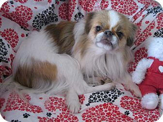 Japanese Chin Dog for adoption in Aurora, Colorado - Pebbles