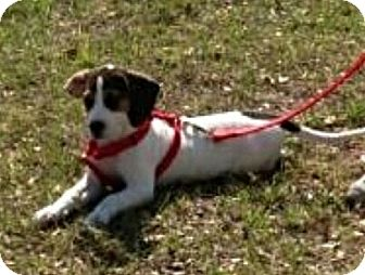 Beagle Mix Puppy for adoption in Oviedo, Florida - Buster