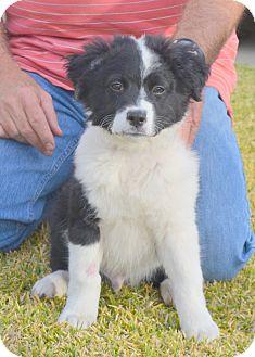 St. Bernard/Anatolian Shepherd Mix Puppy for adoption in Bellflower, California - Bagel
