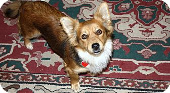 Pomeranian/Papillon Mix Dog for adoption in Bellflower, California - Vicky