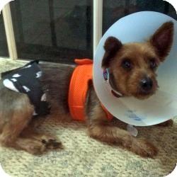 Yorkie, Yorkshire Terrier Dog for adoption in Boca Raton, Florida - Samson