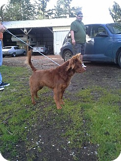 Australian Shepherd Mix Dog for adoption in Yelm, Washington - Emma