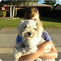 Adopt A Pet :: Lucy Lu - Albuquerque, NM