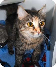Domestic Mediumhair Cat for adoption in Lowell, Massachusetts - Princess Peach