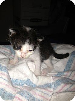 Domestic Shorthair Kitten for adoption in San Marcos, Texas - Oreo & Minion