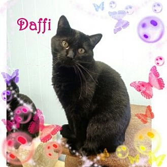 Domestic Shorthair Cat for adoption in New Richmond,, Wisconsin - Daffi