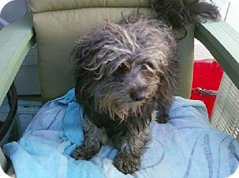 Havanese/Shih Tzu Mix Dog for adoption in Long Beach, California - Diniro