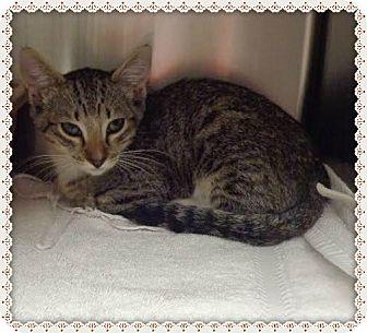 Domestic Shorthair Kitten for adoption in Marietta, Georgia - SIMBA FOXY
