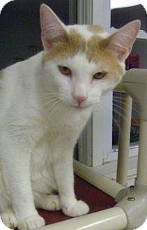 Domestic Shorthair Cat for adoption in Hamburg, New York - Berkley