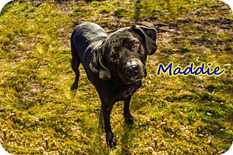 Labrador Retriever Mix Dog for adoption in Breinigsville, Pennsylvania - Maddy