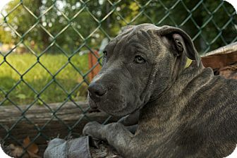 American Pit Bull Terrier/Labrador Retriever Mix Puppy for adoption in Colmar, Pennsylvania - Maggie