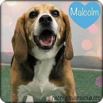 Beagle Dog for adoption in South Plainfield, New Jersey - Malcolm