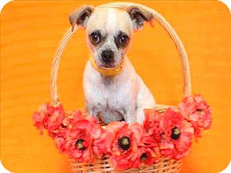 Chihuahua/Pug Mix Dog for adoption in Encino, California - Pork Chop