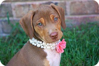 Labrador Retriever/Weimaraner Mix Puppy for adoption in Westport, Connecticut - *Miss Kitty - PENDING