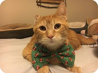 Domestic Shorthair Cat for adoption in Chicago, Illinois - Justin