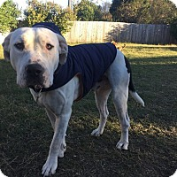 American Bulldog Mix Dog for adoption in Austin, Texas - Sugar Bear