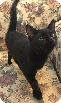 Domestic Shorthair Kitten for adoption in Eureka, California - Mayla