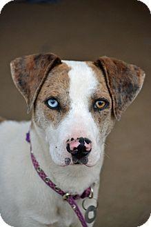 Catahoula Leopard Dog/Australian Shepherd Mix Puppy for adoption in Bedminster, New Jersey - Nakita