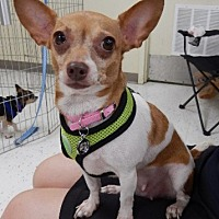 Chihuahua Mix Dog for adoption in Studio City, California - Zoey