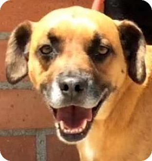 Shepherd (Unknown Type) Mix Dog for adoption in Los Angeles, California - ACE (video)