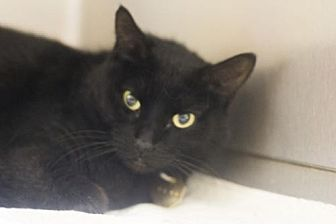 Domestic Shorthair Cat for adoption in Mountain Home, Arkansas - Molina