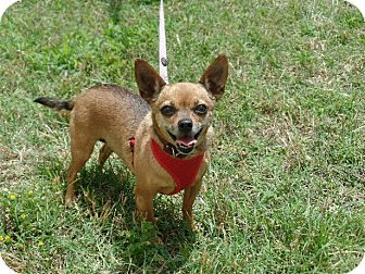 Chihuahua Dog for adoption in Great Falls, Virginia - GiGi