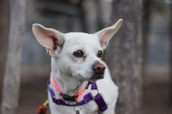 Chihuahua Mix Dog for adoption in Missoula, Montana - Annabelle