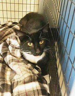 Domestic Shorthair/Domestic Shorthair Mix Cat for adoption in Livingston, Montana - Romeo