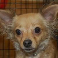Adopt A Pet :: Anna - Brooklyn, NY