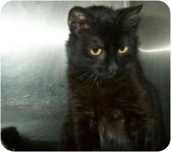 Domestic Shorthair Cat for adoption in Spruce Pine, North Carolina - Minnie