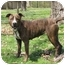 Photo 2 - Pit Bull Terrier/American Staffordshire Terrier Mix Dog for adoption in Chicago, Illinois - Brendy