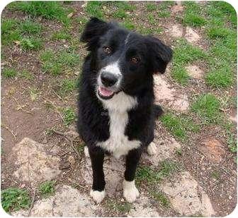 Border Collie Dog for adoption in Austin, Texas - Gallie