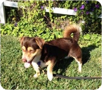Corgi Mix Dog for adoption in El Cajon, California - Alvin