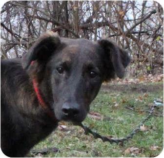 Australian Shepherd/Sheltie, Shetland Sheepdog Mix Dog for adoption in Elgin, Illinois - PRECIIOUS