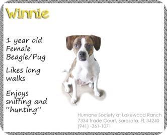 Beagle/Pug Mix Dog for adoption in Sarasota, Florida - Winnie
