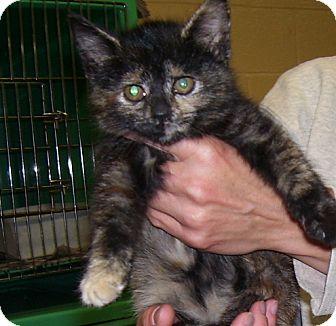 Domestic Shorthair Kitten for adoption in Somerset, Pennsylvania - Sandra