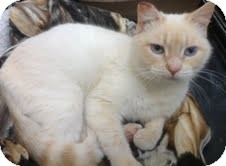 Siamese Cat for adoption in Modesto, California - Flash
