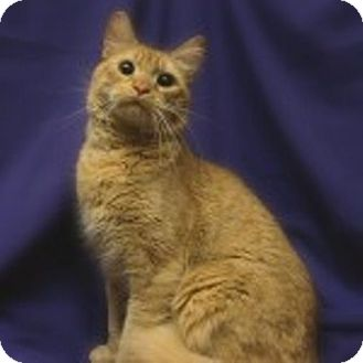 Domestic Shorthair Cat for adoption in Richmond, Virginia - Noble