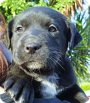 Labrador Retriever Mix Puppy for adoption in Santa Ana, California - Magnum