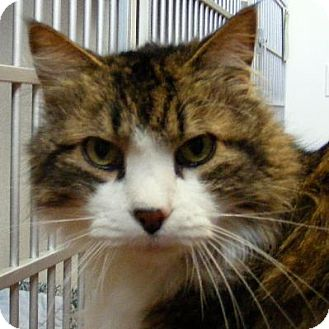 Domestic Longhair Cat for adoption in Denver, Colorado - Estes