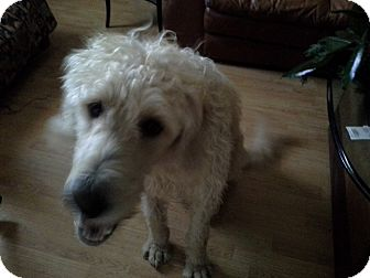 Labradoodle Dog for adoption in Hagerstown, Maryland - Hunter