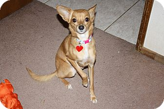 Papillon/Chihuahua Mix Dog for adoption in Bellflower, California - Sarah- '8 lbs'
