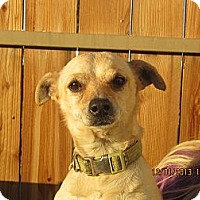 Chihuahua/Spaniel (Unknown Type) Mix Dog for adoption in Littlerock, California - Barry