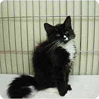 Adopt A Pet :: Misty - Mission, BC