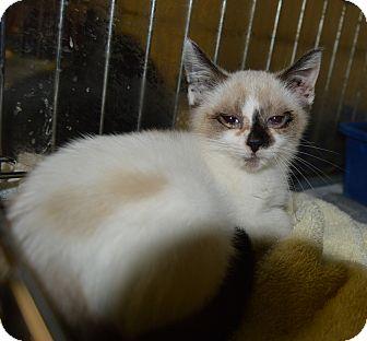 Domestic Shorthair Kitten for adoption in Henderson, North Carolina - Titus