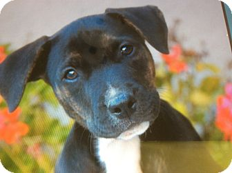 German Shepherd Dog/Labrador Retriever Mix Puppy for adoption in Los Angeles, California - TRISTAN VON TASHA