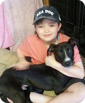 Labrador Retriever/Hound (Unknown Type) Mix Dog for adoption in Billerica, Massachusetts - Mr. Fenway