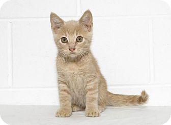 Domestic Shorthair Kitten for adoption in Lufkin, Texas - Noah